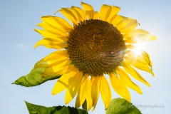 2014-08-16_16-04_0006_Alling_Sonnenblumen