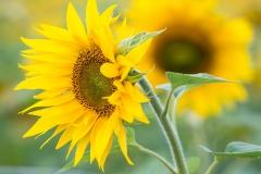 2017-09-17_12-37_0022_Alling_Sonnenblumen